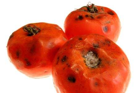 moulder: image of some rotten tomatoes captured over white