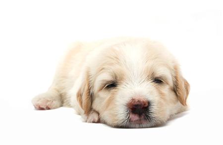 lazy puppy sleeping (studio isolated) Stock Photo