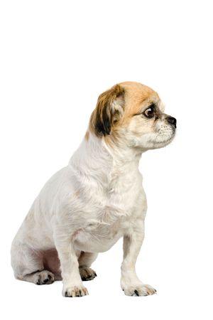 pekingese: purebred pekingese dog on white Stock Photo