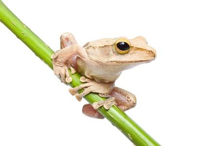 croak: Tree frog on papyrus tree