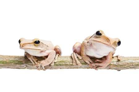 Two frogs on dry branch