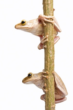 warble: Two frogs on dry branch