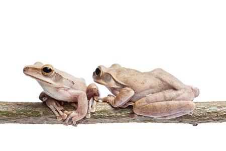 Frogs on tree trunk photo