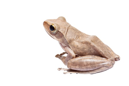 warble: Tree frog on white background