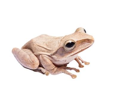 croak: Tree frog on white background Stock Photo