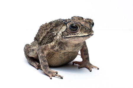 Toad Isolated on White Background Stock Photo - 20557962