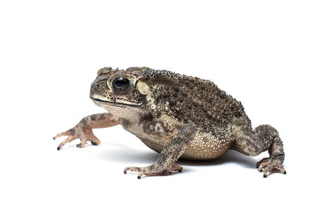 Toad Isolated on White Background Stock Photo - 20557957