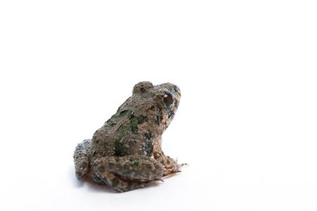 ridibundus: Marsh Frog isolated on white background, Pelophylax ridibundus
