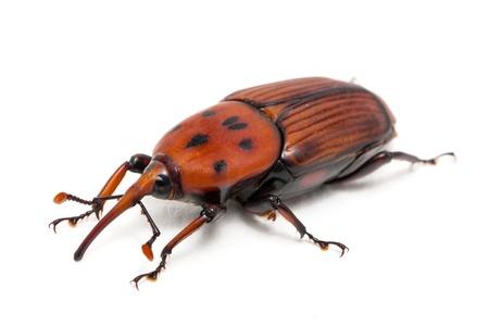 abietis: palm weevil snout beetle, Rhynchophorus ferrugineus, isolated on  Stock Photo