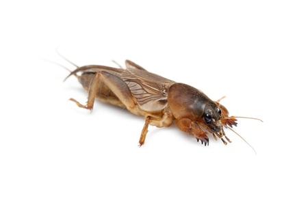 saboteur: Mole cricket isolated on white background  Gryllotalpidae
