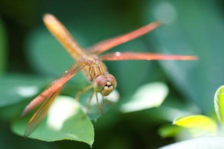 sympetrum: A skimmer dragonfly  Sympetrum sp