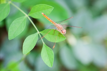 sympetrum: A skimmer dragonfly  Sympetrum sp   Stock Photo