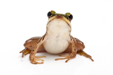 green frog  green paddy frog  on white background