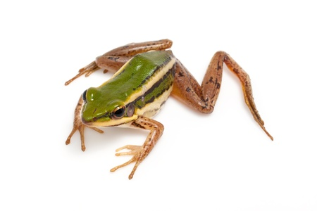 webbed: green frog  green paddy frog  on white background