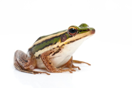 wetland conservation: green frog  green paddy frog  on white background