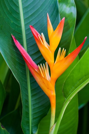 heliconiaceae: Heliconia flower