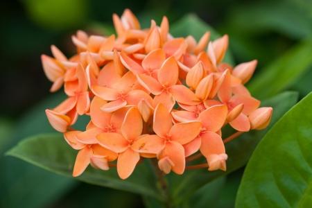 stamin: Background of orange Ixora flowers