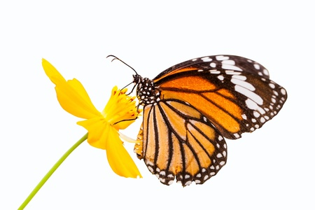 Monarch butterfly seeking nectar on a flower on white background using path