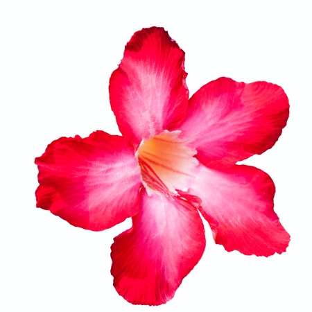 isolated impala lily on white background using path  photo