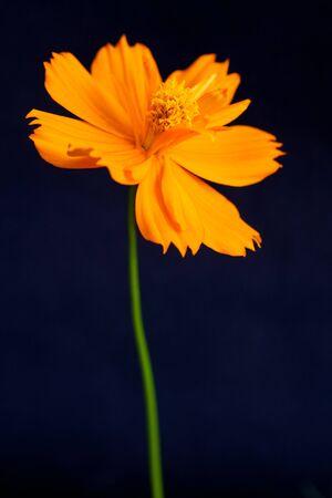 cosmos flowers: Orange Cosmos flower on black background