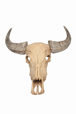 Buffalo skull isolated  photo