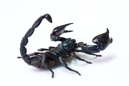 Black scorpion isolated on white background  photo