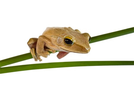 warble: Tree frog on papyrus tree