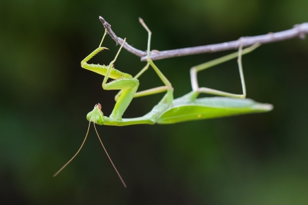 Praying Mantis against green background  photo