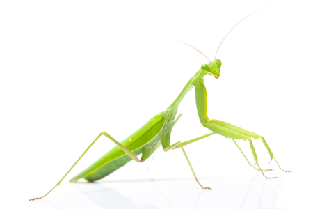 animal limb: Green mantis isolated on a white background
