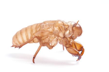 Cicada molt isolated on white background  photo