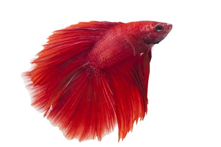 siamese fighting fish, betta splendens isolated on white background  photo