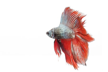 betta splendens: siamese fighting fish, betta fish isolated on white background  Stock Photo