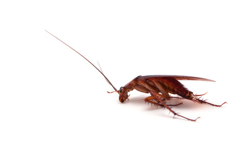 nuisance: Dead cockroaches white background