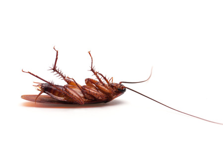 cockroach: Dead cockroaches white background