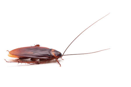 crawly: Dead cockroaches white background