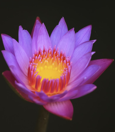 lotos: Lotus is blossom Stock Photo