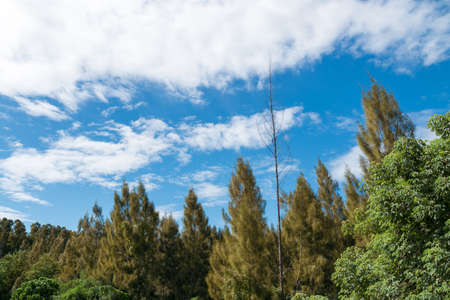 Many trees in the clear sky during the day time. Soi Dao Wildlife Sanctuary, Soi Dao District of Chantaburi province. Thailand