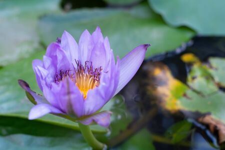 A true purple lotus flower that blooms above water. With green leaves Foto de archivo - 135430311