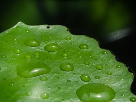 Lotus leaf with water droplets dripping into the pool Archivio Fotografico