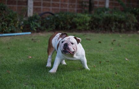 threaten: White English Bulldog stand on the grass and threaten Stock Photo