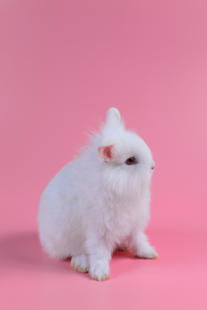 white fluffy bunny on clean pink background, little white rabbit