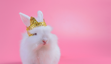 white fluffy bunny with golden crown sitting on pink background, little white rabbit and copy space for text Stock Photo