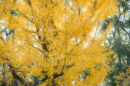 Blurred yellow leaves background in Japan