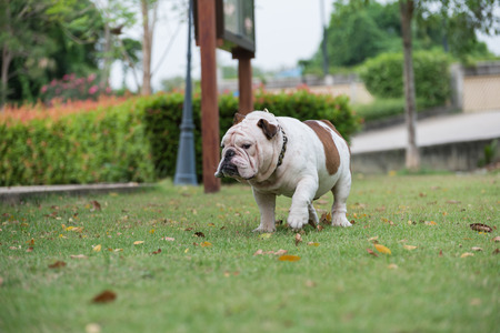white english bulldog walking on the grass at the park