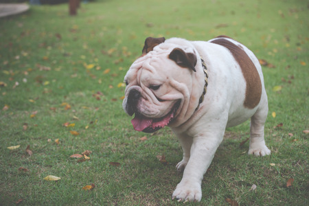 motion blurred of white english bulldog walking on the grass at public park with copy space for text