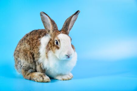 rabbit with brown and white hairs sit on blue background with copy space for text 写真素材
