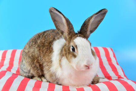 rabbit sit on red and white pillows with blue background. fluffy bunny and ear set