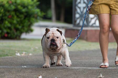 woman and english bulldog walking together on the street.