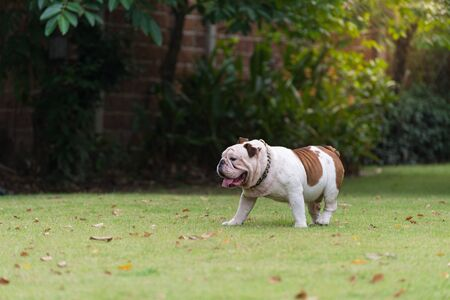 motion blurred of white english bulldog walking on the grass in the park, fat dog Imagens