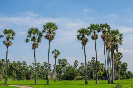 Many sugar palm trees grow in the middle of the rice fields on a clear, fertile day.